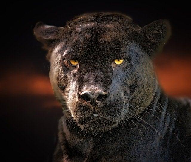exu pantera negra