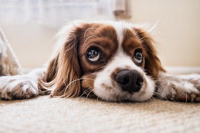 Significado dos sonhos cachorro